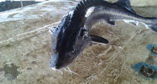 پخش عمده ماهی خاویار در کشور