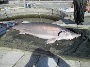 مزرعه ماهی خاویاری