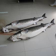 صادرات ماهی خاویاری